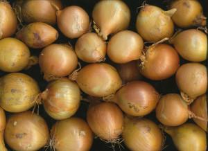 Pflanzen vorziehen: Zwiebeln unter den Favoriten